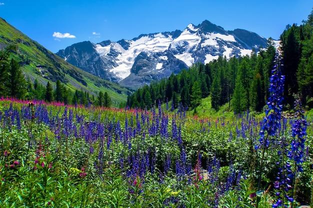 Blumenfeld auf dem hintergrund der schneebedeckten berggipfel im altai-gebirge. schöne naturlandschaft.