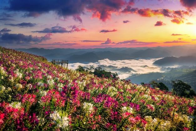 Blumenfelder und sonnenaufgang aussichtspunkt bei mon mok tawan in der provinz tak, thailand