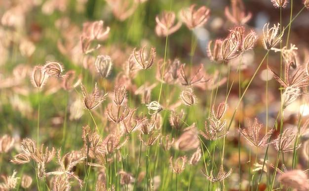 Blumengras blüht und goldener sonnenschein am abend