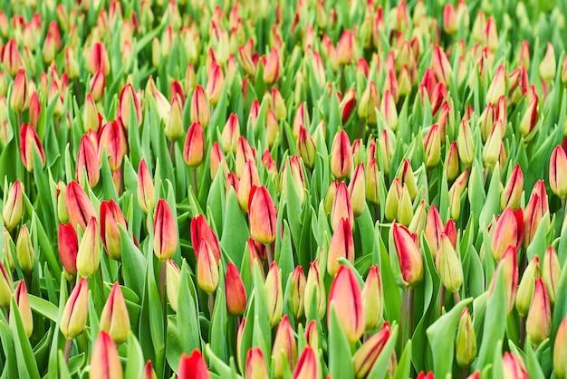 Blumenhintergrund - feld ungeöffneter rosa tulpen