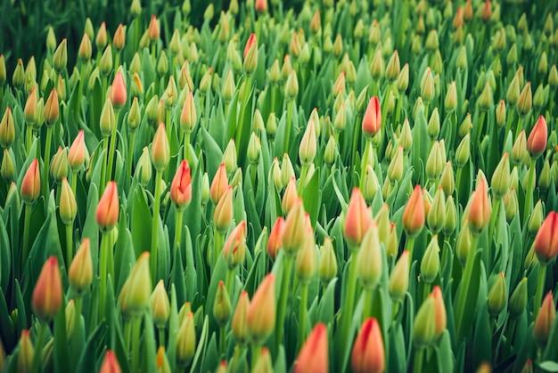 Blumenhintergrund - feld ungeöffneter roter tulpen