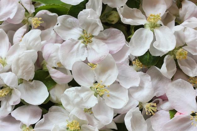 Blumenhintergrund mit apfelbaumblumen, draufsicht. blütenstand mit weißen und rosa blütenblättern als natürliche kulisse.