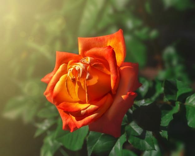 Blumenhintergrund mit oranger rosenblume. unscharfer natürlicher grüner hintergrund. nahansicht.
