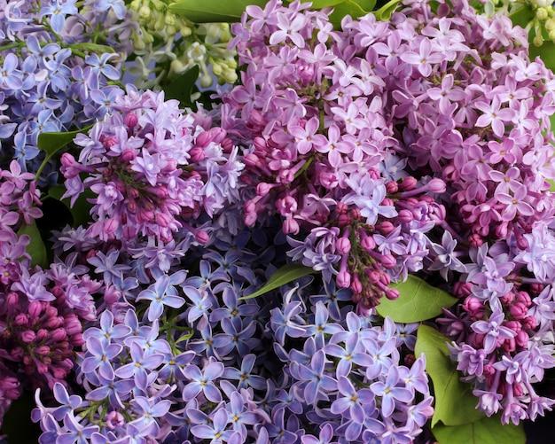 Blumenhintergrund mit purpurroten lila blütenständen schließen oben.