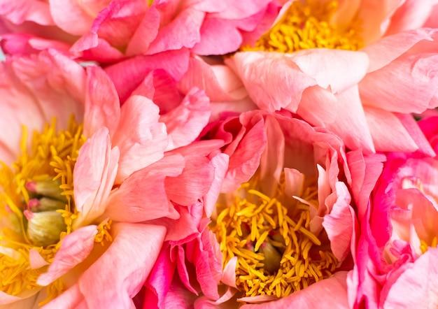 Blumenhintergrund, schöne rosa pfingstrosen hautnah