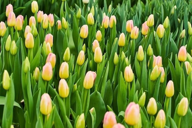 Blumenhintergrund - wachsende ungeöffnete leuchtend gelbe rosa tulpen