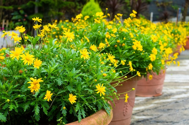 Blumenladen in malaysia. töpfe mit gelben blumen.