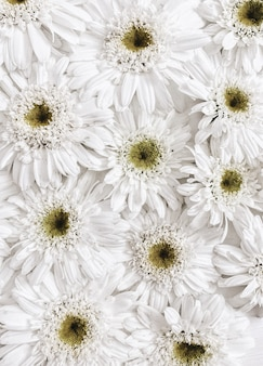 Blumenmuster aus weißen kamille-gänseblümchen-blumen. flache lage, ansicht von oben Premium Fotos