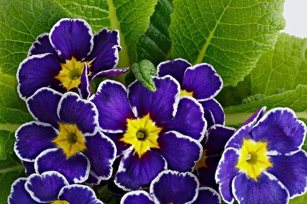 Blumenprimula vulgaris mit blühenden knospen