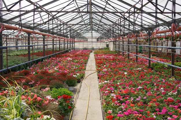 Blumenproduktion und -anbau. viele chrysanthemenblüten im gewächshaus. chrysanthemenplantage