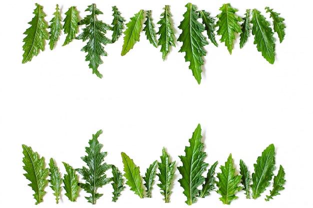Blumenrahmen aus den reihen des grüns die nassen blätter einer distel. exemplar, ansicht von oben, flach zu legen.