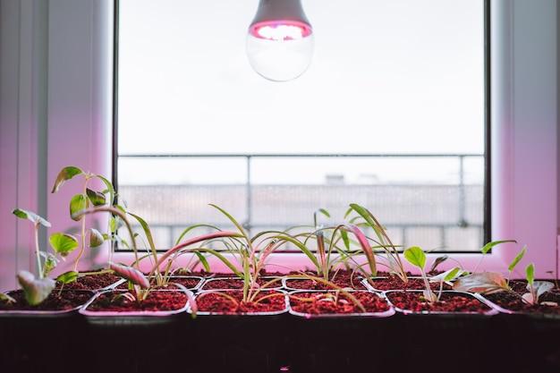 Blumensämlinge unter licht der vollspektrum-led-phytolampe zu hause auf der fensterbank.