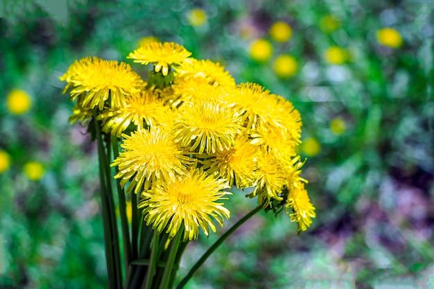Blumenstrauß aus gelbem löwenzahn