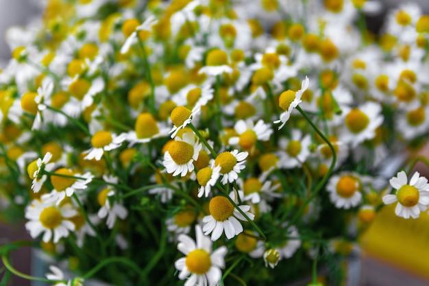 Blumenstrauß aus kamillenblüten hautnah selektiver fokus naturkonzept hintergrund