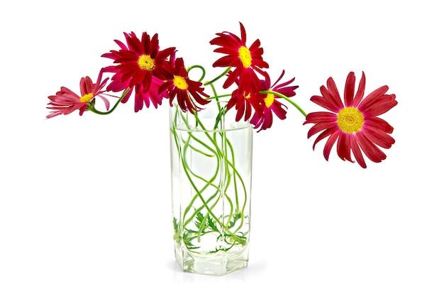 Blumenstrauß aus purpurroten pyrethrumblüten im hohen glas mit wasser isoliert
