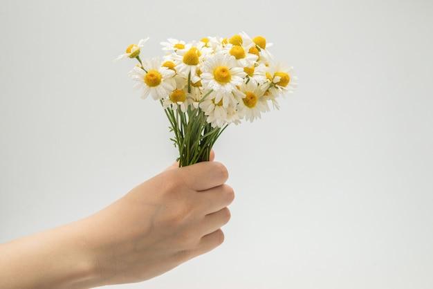 Blumenstrauß der gänseblümchen in der frauenhand lokalisiert auf weißem hintergrund.