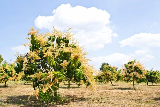Blumenstrauß der mango und der mango auf dem baum