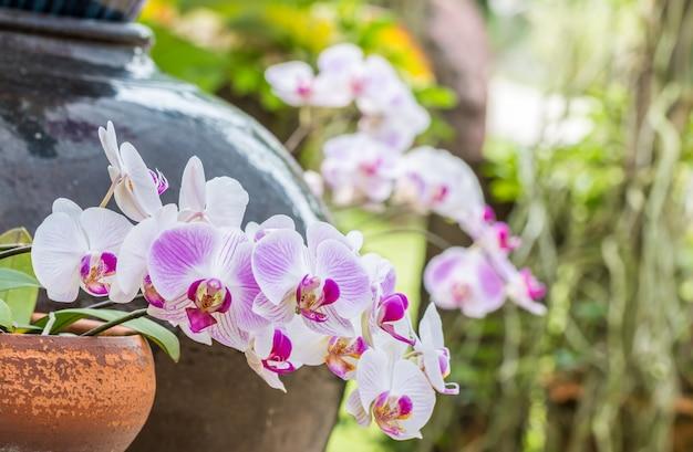 Blumenstrauß der rosa orchidee phalaenopsis, auf tongefäßen.