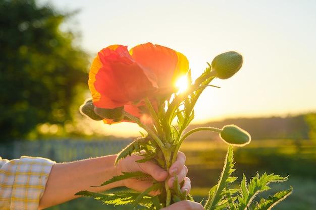 Blumenstrauß der roten mohnblumenblumen in einer weiblichen hand, raumgrün-naturhimmel-sonnenuntergang, goldene stunde