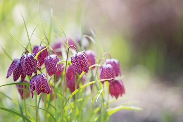 Blumenstrauß der schlangenkopfblume.