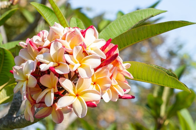 Blumenstrauß der schönen frangipani auf baum, rosa und gelb, mit wassertropfen auf grünen blättern unscharfen hintergrund.