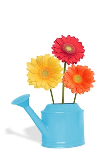 Blumenstrauß gerberablumen in der blauen gießkanne