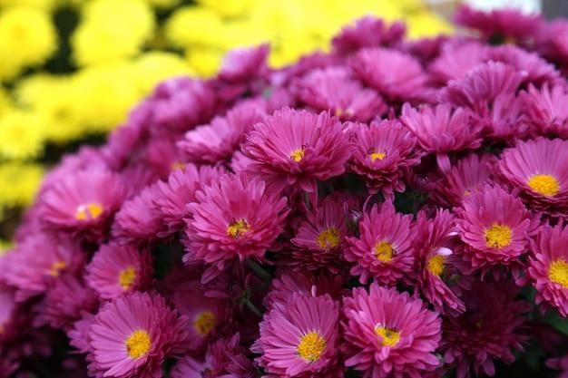 Blumenstrauß vieler blumen der gelben und purpurroten chrysanthemen. tiefenschärfe.