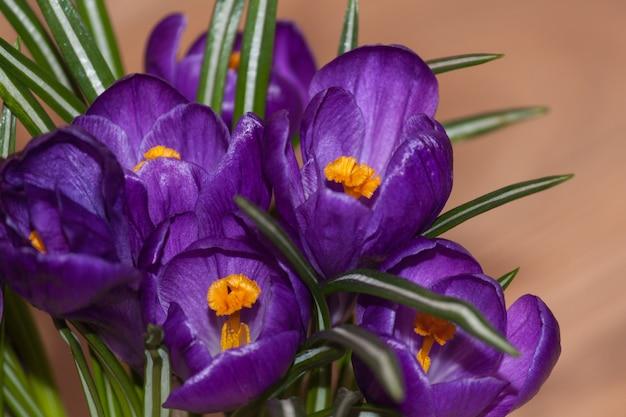 Blumenstrauß von frischen schönen purpurroten violetten krokussen