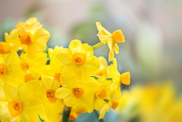 Blumenstrauß von hellgelben narzissenblumen auf unscharfem hintergrund