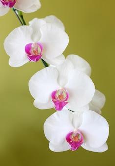Blumenstrauß von orchideen der weißen blumen