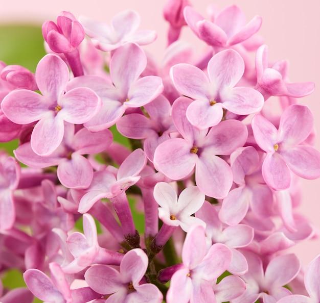 Blumenstrauß von rosa flieder auf einem rosa hintergrund