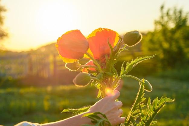 Blumenstrauß von roten mohnblumenblumen in einer weiblichen hand, grüner naturhimmel-sonnenuntergang im hintergrund, goldene stunde