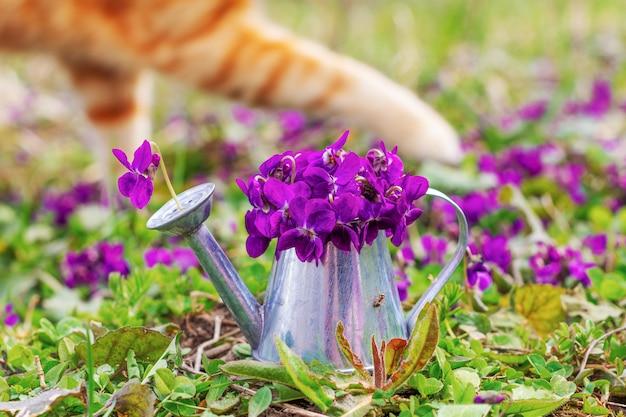 Blumenstrauß von waldblumenveilchen in einer zinngießkanne auf einer blumenwiesennahaufnahme und einer tatzeningwerkatze im hintergrund