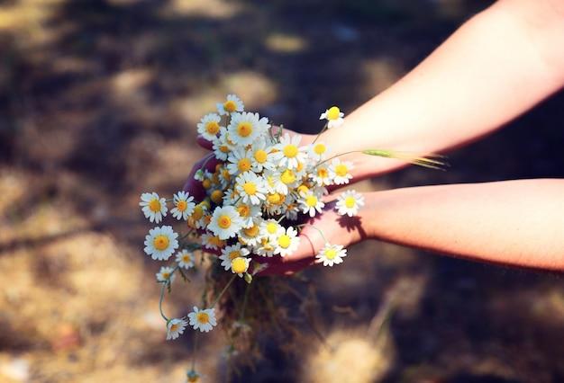 Blumenstrauß von weißen gänseblümchen des feldes in den menschlichen händen