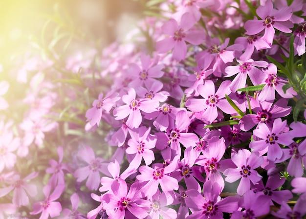 Blumentextur von bodendecker-phlox.