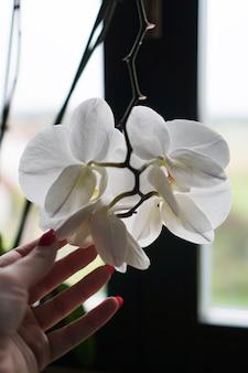 Blumentopf in der nähe eines großen fensters. weiße orchidee auf der fensterbank. schwarze vorhänge - morgen