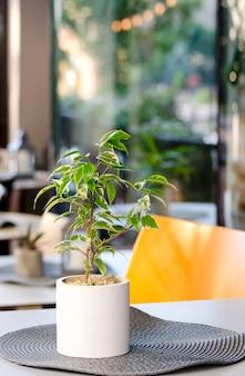 Blumentopf mit ficus benjamina houseplant, der in der tabelle des sommerstadtcafés steht.