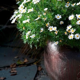 Blumentopf von gänseblümchen in den hamptons