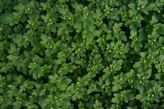 Bluming grüne frische chrysantheme abstrakte textur