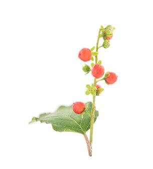 Blutbeere, korallenbeere oder rivina humilis früchte auf weißem hintergrund.