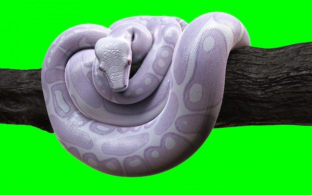 Boa constrictor albino anaconda mit beschneidungspfad.