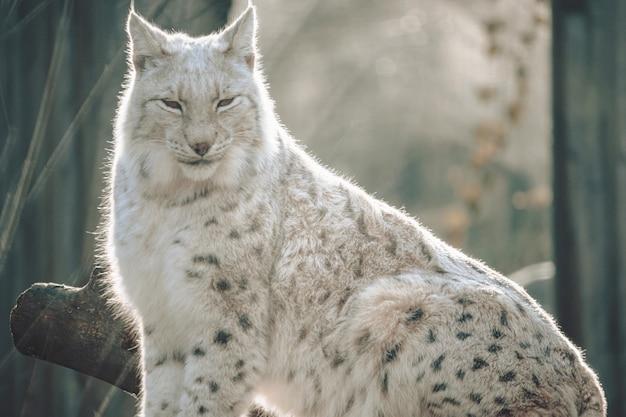 Bobcat sitzt groß auf einem baumstamm in einem zoo