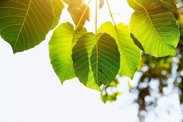 Bodhi leaf green frische natur ökologie mit sonnenlicht photosynthese