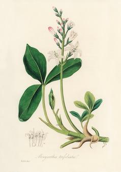 Bogbean (menyanthes trifoliata) illustration aus der medizinischen botanik (1836)