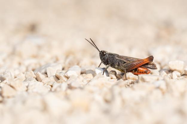 Bogenflügel-heuschrecke (chorthippus biguttulus) sitzt auf dem boden