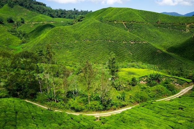 Boh tea plantation cameron highland - szenische pracht mit ihrer starken natürlichen schönheit.