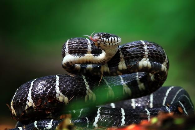 Boiga-schlange bereit zum angriff
