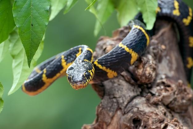 Boiga-schlangen-dendrophilie im defensivmodus