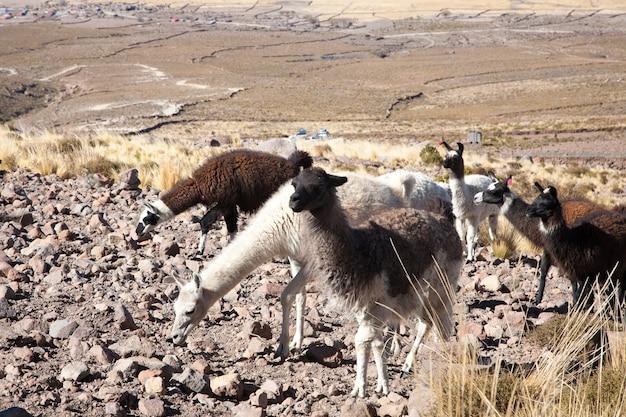 Bolivianische lamazucht auf dem andenplateau, bolivien