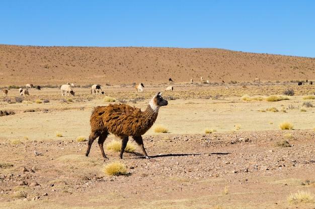 Bolivianische lamazucht auf dem andenplateau
